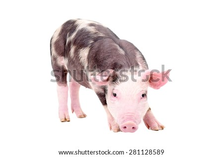 Cute little pig standing isolated on white background - stock photo