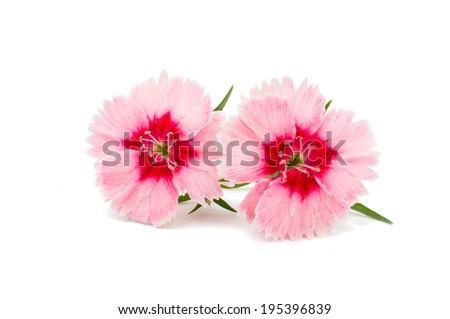 Cute little pink dianthus carnation flower with red center isolated on white background - stock photo
