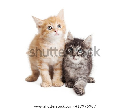 Cute little playful tabby kittens together over white - stock photo