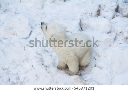 Cute little polar bear.