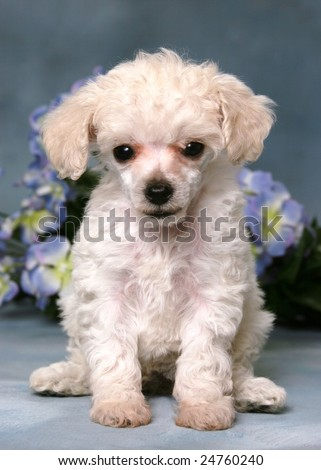 Cute little poodle puppy with flowers
