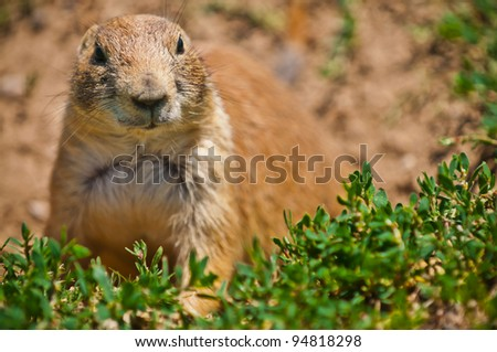 Cute little Prairie dog  in a Prairie dog town in South Dakota - stock photo