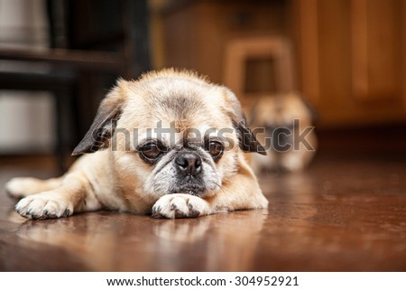 Cute little Pug and Pekingese dog laying down on a wood floor int he kitchen of a home with another dog blurred in the background