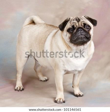cute little Pug dog with wrinkles - stock photo