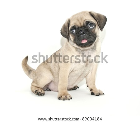 Cute little Pug puppy sitting on a white background.