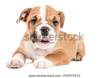 Cute little puppy of English Bulldog isolated on white background looking at camera - stock photo