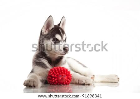 cute little puppy of siberian husky - stock photo