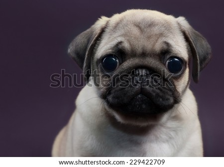 cute little puppy pug - stock photo