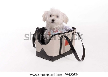 Cute little puppy shot in the studio - fancy and in a little basket - stock photo