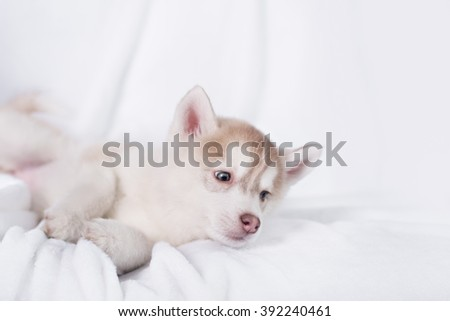 Cute little puppy sit on white background. not isolate - stock photo