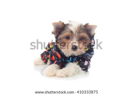 cute little puppy wearing clothing - stock photo
