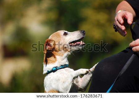Cute little purebred Parson Jack Russell Terrier dog begging for food from his owner. - stock photo