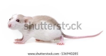 cute little rat - white background - stock photo