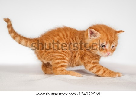 Cute little red hair kitten over white background - stock photo