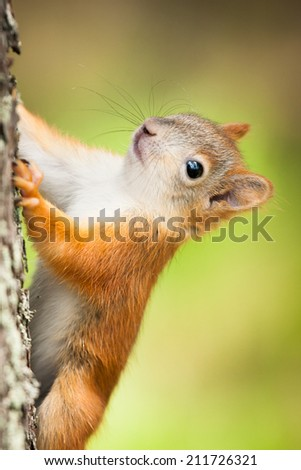 Cute little red squirrel