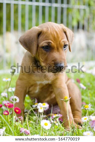 Cute little Rhodesian Ridgeback puppy is sitting in the grass in garden. The little dog is looking down funny between lots of little summer daisy flowers. The puppy is five weeks of age.