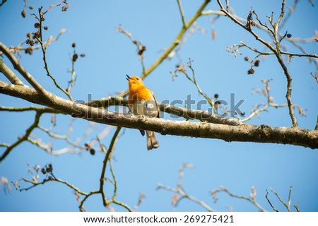 cute little robin bird singing on a spring time tree branch - stock photo