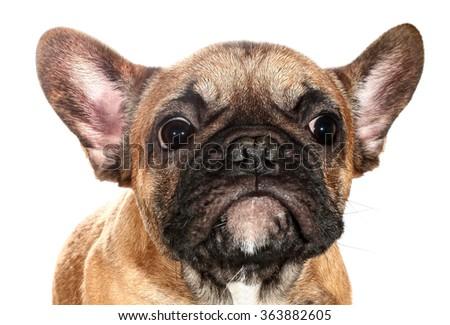 Cute little sad French bulldog puppy - stock photo