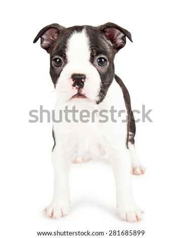 Cute little seven week old Boston Terrier puppy dog standing on a white background and looking forward at the camera - stock photo