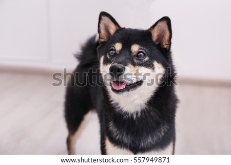 Cute little Shiba Inu dog at home