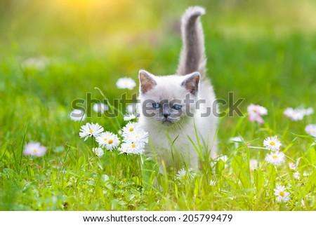 Cute little siamese kitten on the flower lawn - stock photo
