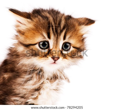 Cute little Siberian kitten isolated on white background - stock photo
