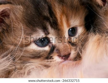 Cute little siberian kitten sucks milk from mother breast close-up - stock photo