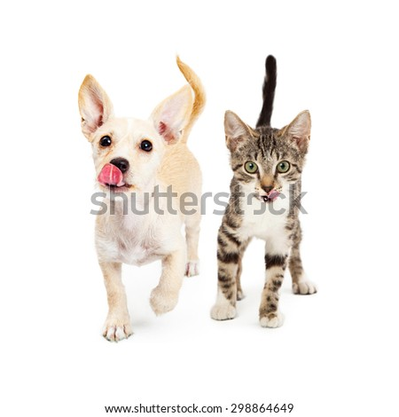 Cute little small breed puppy and kitten walking forward with their tongues sticking out to lick their lips. Add your treat or food product in front of them. - stock photo