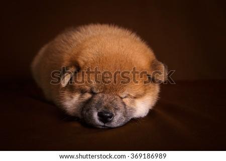 cute little small japan dog akita sleep on brown background - stock photo
