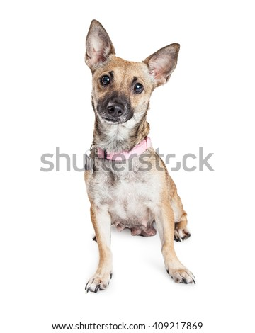 Cute little small mixed breed dog sitting on white background looking forward into camera - stock photo