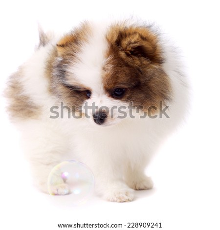 cute little spitz puppy with the soap bubbles - stock photo