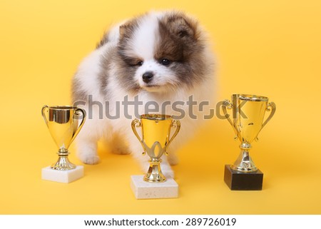 cute little spitz puppy with the winner cups - stock photo
