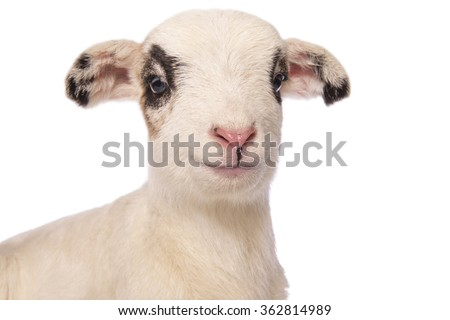 Cute little spotted lamb smiling front head shot isolated on white background