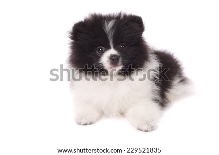 cute little surprised spitz puppy - stock photo