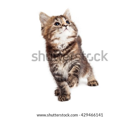 Cute little tabby kitten on white background raising one paw up to play