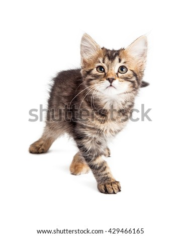 Cute little tabby kitten walking forward, looking up. Isolated on white.