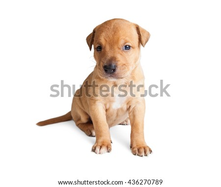 Cute little tan color puppy sitting on white studio background