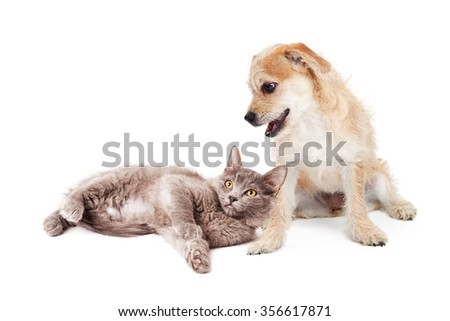 Cute little terrier puppy with a happy expression looking down at a kitten laying at his feet - stock photo