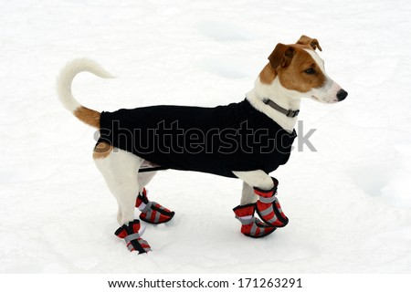 Cute little terrier wearing snow shoes on all four paws for protection and a warm coat against the cold winter weather standing on fresh snow looking alertly off to the right - stock photo