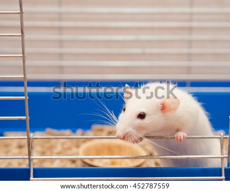Cute little white rat looking out of a cage