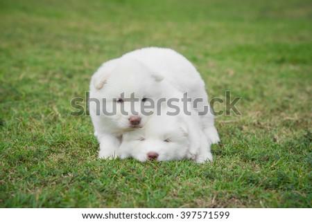 Cute little white siberian husky puppies lying on green grass - stock photo