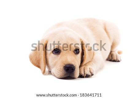 Cute little yellow baby labrador with sad eyes isolated on white
