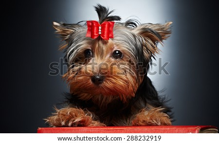 Cute little yorkie dog. Studio shoot. - stock photo