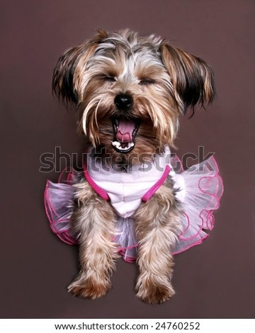cute little yorkie with pink dress yawning - stock photo
