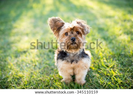 Cute little yorkshire terrier dog outside in the grass - stock photo