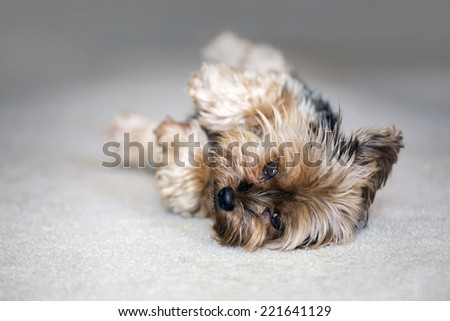 Cute little yorkshire terrier playing dead - stock photo