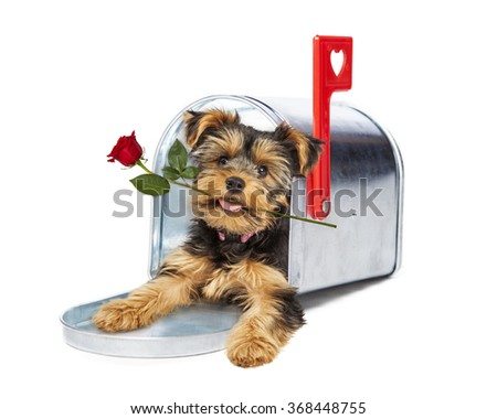 Cute little Yorkshire Terrier puppy laying in a mailbox delivering a single red rose - stock photo