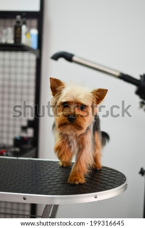Cute little yorkshire terrier puppy waiting for grooming - stock photo