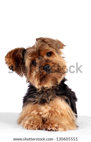 Cute little yorkshire terrier white background - stock photo
