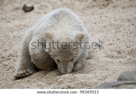 Cute littlepolar bear - stock photo
